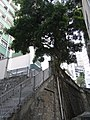 HK Sheung Wan 磅巷 Pound Lane outdoor ladder stairs stair wall tree Aug-2010.JPG