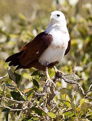 Brahminy kite - In Pilbara, Western Australia