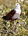Haliastur indus -Karratha, Pilbara, Western Australia, Australia-8 (1).jpg