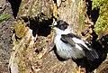 Halsbandsflugsnappare Collared Flycatcher (14497735856).jpg
