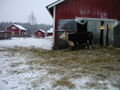 Haltiala 2004 lehmä 2.jpg