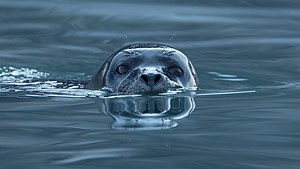 Harbor seal - Harbor seal in Svalbard