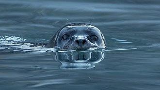 Harbor seal - Harbor seal in Svalbard