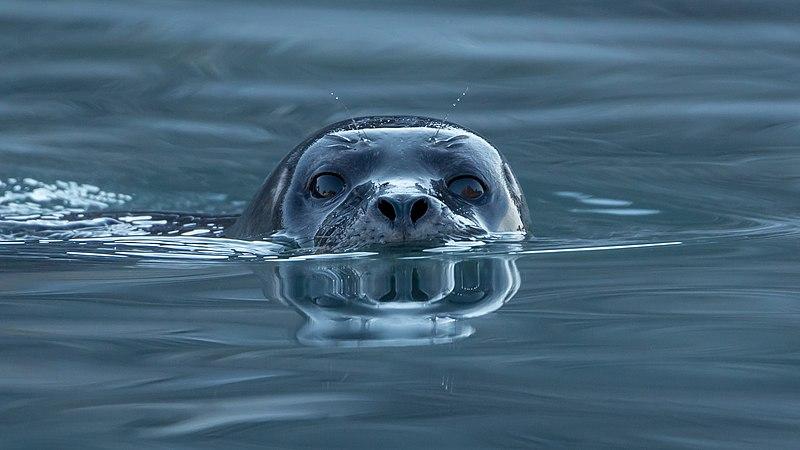 Harbor seal (Phoca vitulina) at Magdalen fjord, Svalbard (1).jpg