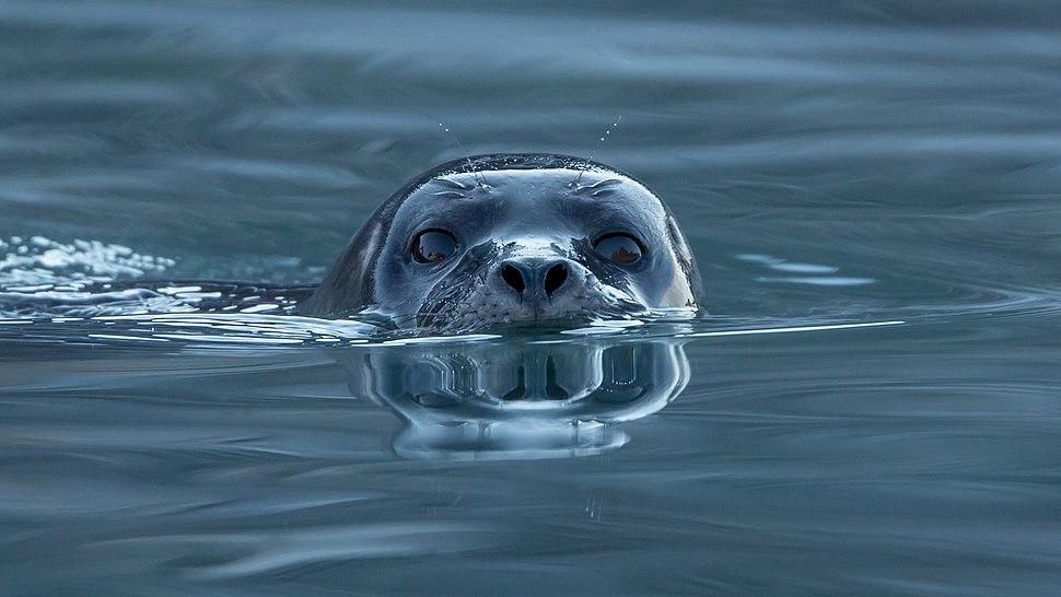 Harbor seal (Phoca vitulina) at Magdalen fjord, Svalbard (1)