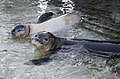 Hawaiian monk seal at French Frigate Shoals 03.jpg