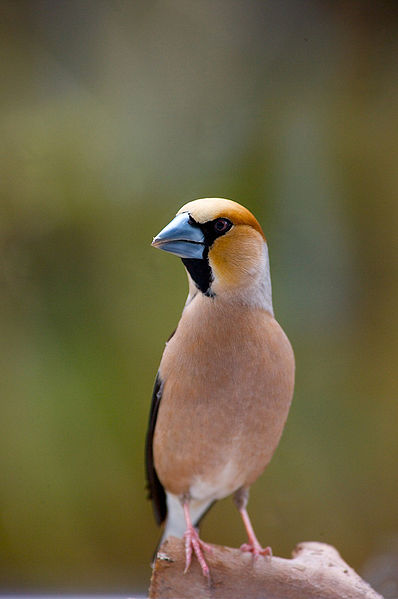 File:Hawfinch with a blue beak.jpg