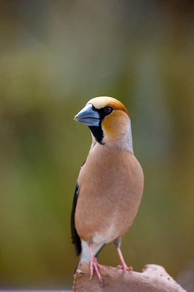 File:Hawfinch with a blue beak.jpg