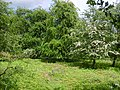 Hawthorn in bloom - geograph.org.uk - 441675.jpg