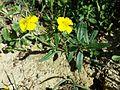 Helianthemum nummularium subsp. obscurum sl11.jpg