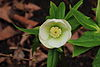Helleborus orientalis. Bijna witte zaailing 02.JPG