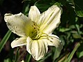 Hemerocallis G2 lemon - 9352748488.jpg
