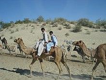 Стадо верблюдов Тари