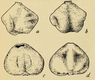 <i>Heterosaccus</i> genus of crustaceans