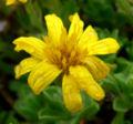 Heterotheca sessiliflora ssp bolanderi 3.jpg