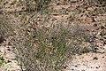 Hibiscus elliottiae-4882 - Flickr - Ragnhild & Neil Crawford.jpg