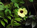 Hibiscus hispidissimus-1-thenmalai-kerala-India.jpg