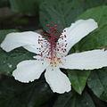 Hibiscus punaluuensis-IMG 5449.jpg