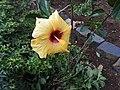 Hibiscus rosa sinensis hybrid-28-hanuman temple-muluvi-yercaud-salem-India.jpg