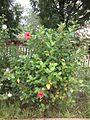 Hibiscus shrub red flowers.jpg