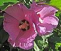 Hibiscus sp. (rose mallow) (Newark, Ohio, USA) 5 (41494823540).jpg