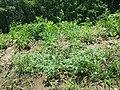 Hibiscus trionum sl28.jpg