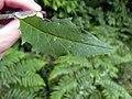 Hieracium laevigatum leaf (04).jpg