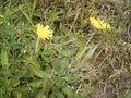 Hieracium pilosella plant.jpg
