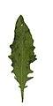 Hieracium vulgatum leaf (09).jpg
