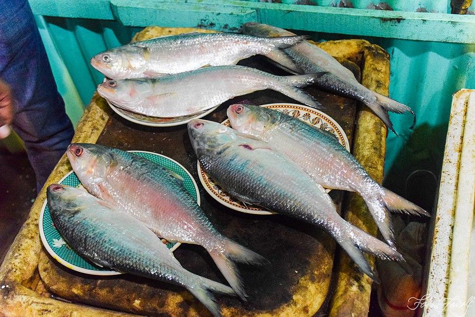 Hilsa Ilisha Fish