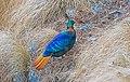 Himalayan Monal, Male (32428846418).jpg
