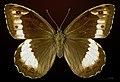 Hipparchia fagi MHNT CUT 2013 3 30 Montdoumerc female dorsal.jpg