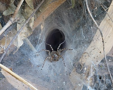 Hippasa holmerae (Lawn wolf spider) in its funnel web (2).jpg