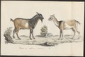 Hircus aegagrus - 1700-1880 - Print - Iconographia Zoologica - Special Collections University of Amsterdam - UBA01 IZ21300251.tif