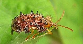 Cassidinae Subfamily of beetles