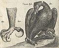 Historiae Naturalis De Auibvs Libri VI 1650 (46862006) (cropped).jpg