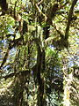 Hoh Rainforest - Olympic National Park - Washington State (9780087251).jpg