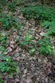 Hoher Vogelsberg Lanzenhain Lysimachia nemorum hab.png