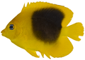 Holacanthus tricolor - pone.0010676.g104.png