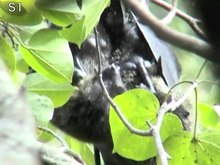 File:Homosexual-Fellatio-Erect-Penis-Licking-between-Male-Bonin-Flying-Foxes-Pteropus-pselaphon-pone.0166024.s002.ogv