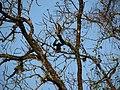 Hoolock Gibbon IMG 9509 01.jpg