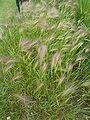 Hordeum jubatum (Gramineae) plant.JPG