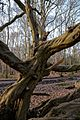 Hornbeam on Fairmead Road, High Beach, Essex.jpg