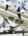 House Martin from the Crossley ID Guide Britain and Ireland.jpg