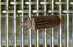 Huhu beetle - Huhu beetle (wire mesh 8mm spacing)