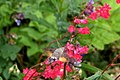 Hummingbird Hawkmoth - geograph.org.uk - 1364209.jpg