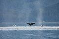 Humpback whales in Juneau Alaska.jpg