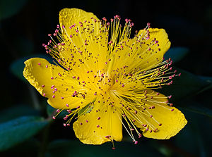 Rose of Sharon - Hypericum calycinum