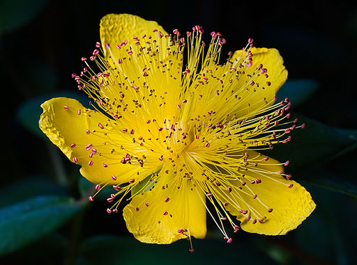 Hypericum calycinum Tasmania