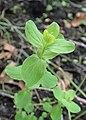 Hypericum maculatum kz01.jpg